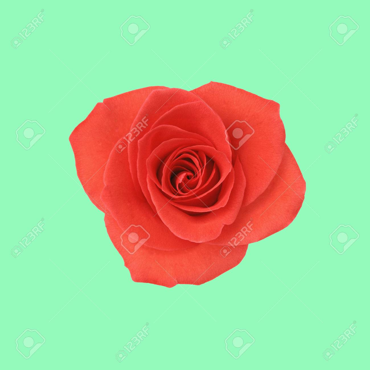 Flower Red Rose On The Mint Green Background Stock Photo, Picture ...