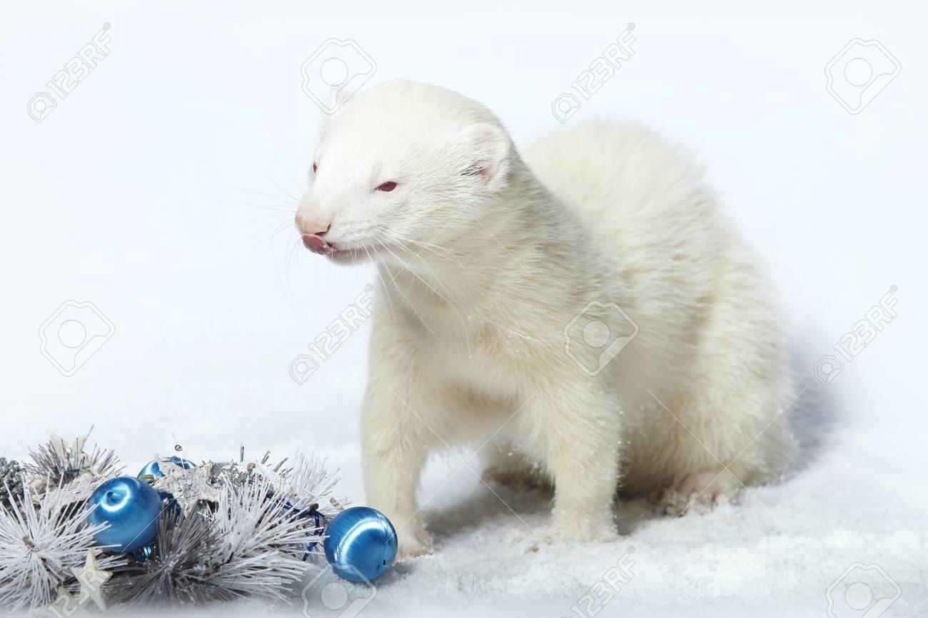 Christmas Ferret.Albino Male Ferret In Winter Christmas Style Posing In Studio