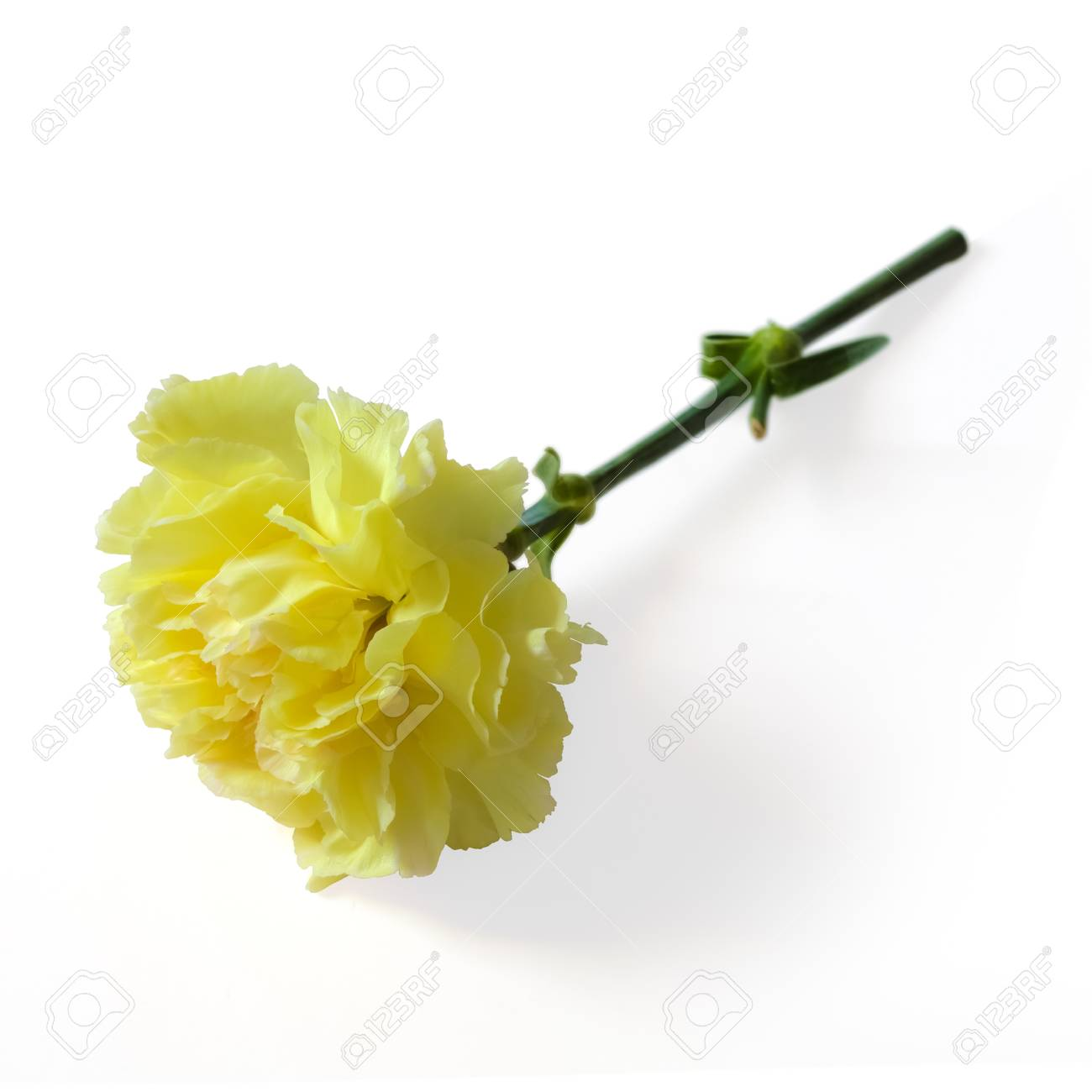 Carnation on the floor Stock Photo - 9654638