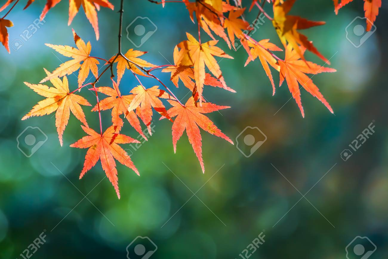 Red maple leaves in autumn at Tenryu-ji Temple in Kyoto Stock Photo - 26170432