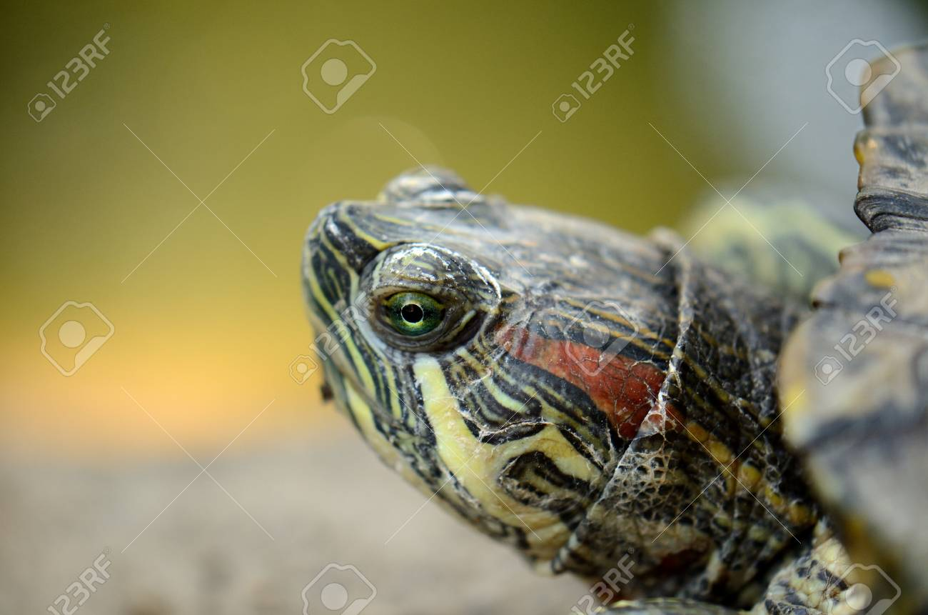 beautiful red-eared slider  Trachemys scripta elegans Stock Photo - 12946158