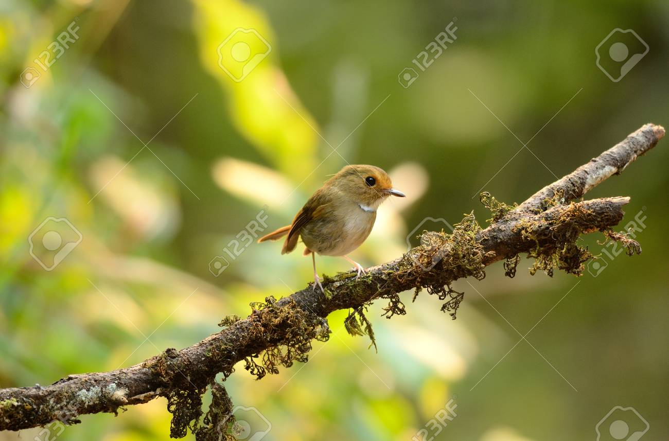 beautiful rufous-browed flycatcher Ficedula solitaris  in Thai forest Stock Photo - 16169818