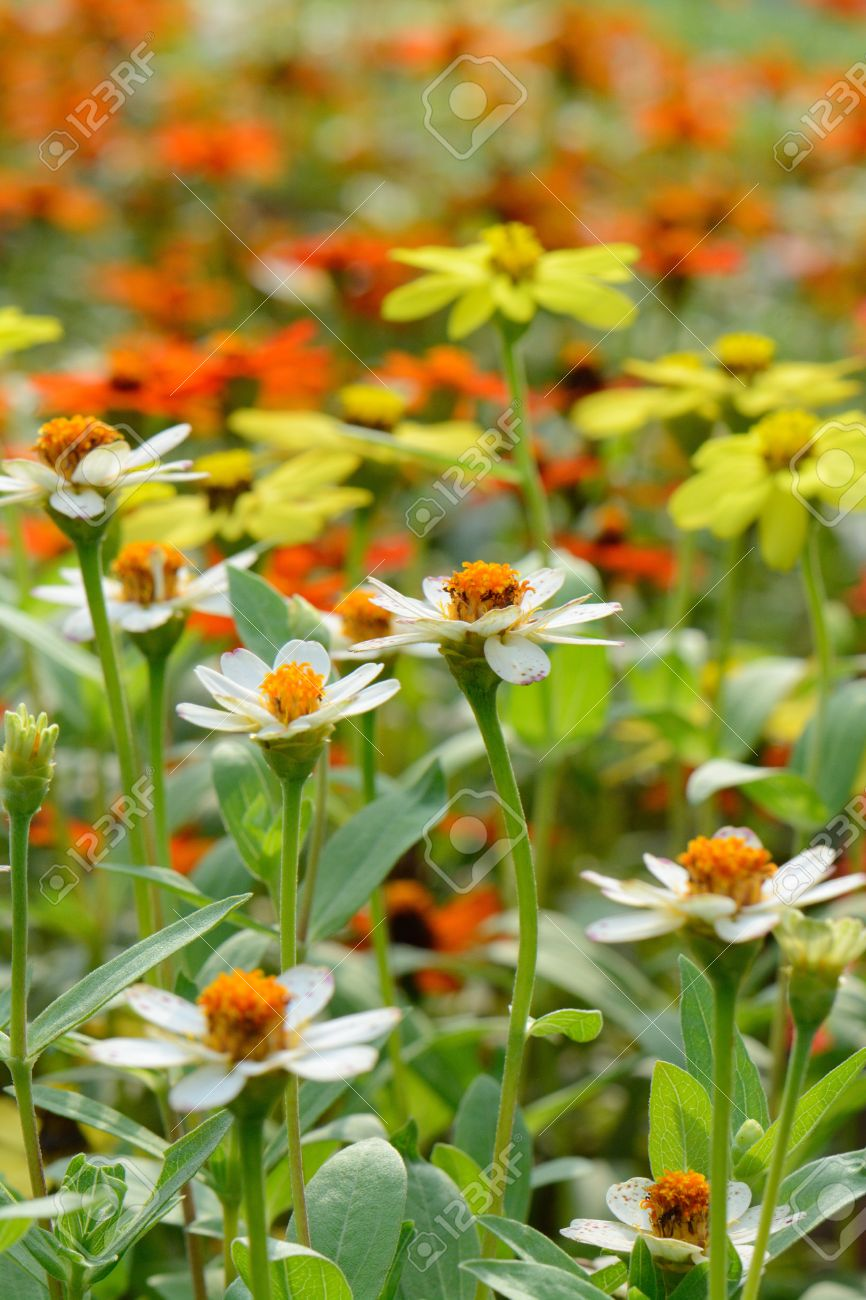 Beautiful Narrowleaf Zinnia Flower Zinnia Angustifolia Kunth At Thai Flower  Garden Stock Photo   20762662