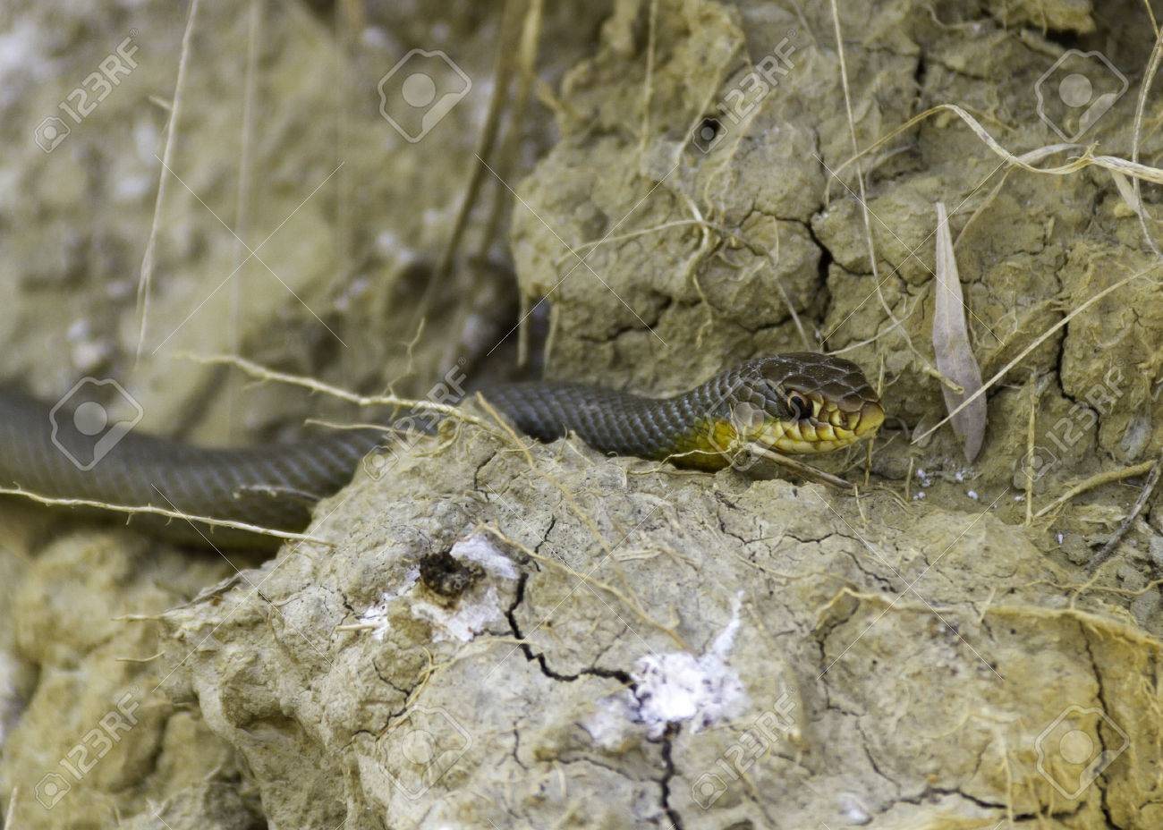 Blue Racer Snake Coluber Constrictor On The Ground Stock Photo