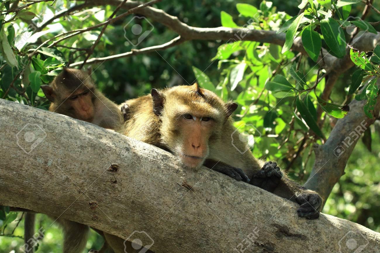 木で休んで Macaques、マカク属 ...