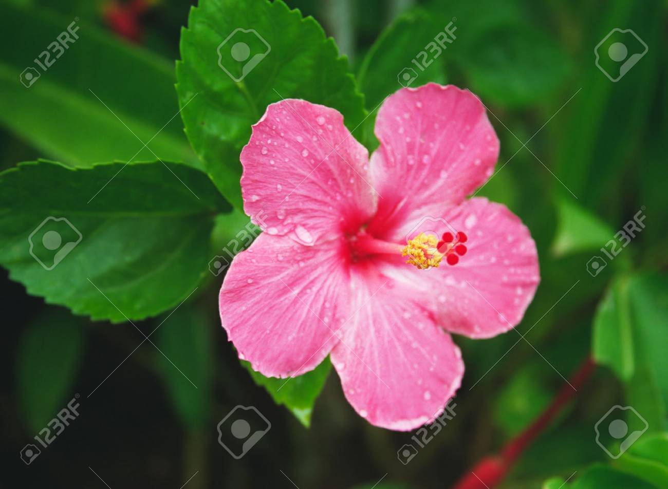 Tropical Hibiscus with droplets in a tropical garden Stock Photo - 747311