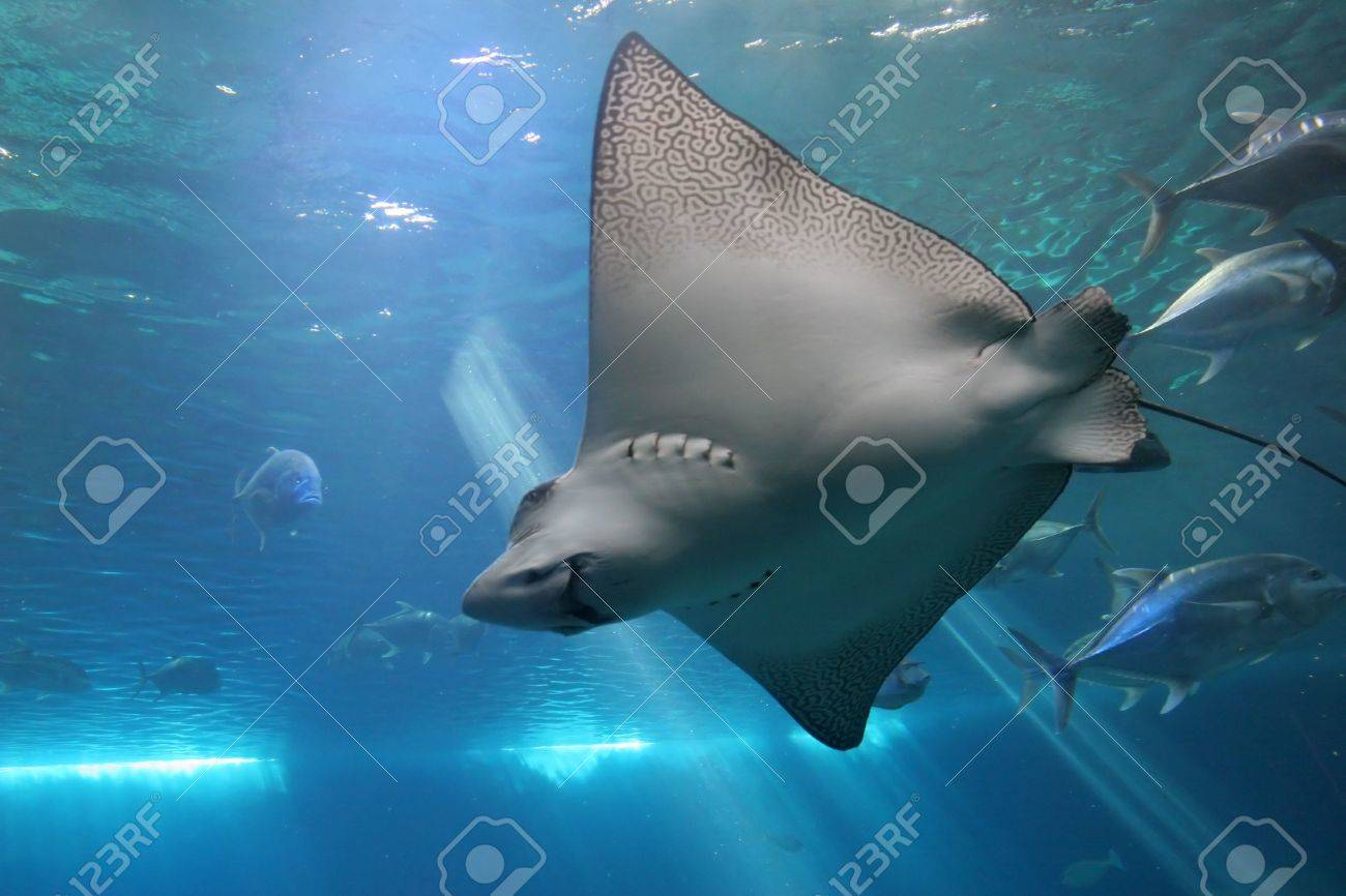 Spotted Eagle Ray and Giant Trevelly fish in Maui tropical waters Stock Photo - 1788518