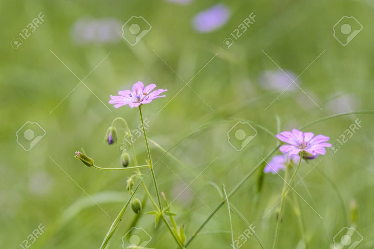 Wild pink flowers isolated on blurry green background stock photo stock photo wild pink flowers isolated on blurry green background mightylinksfo
