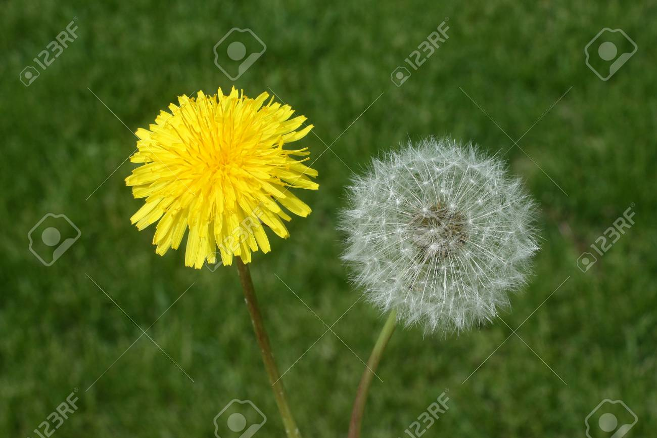 Dandelion Flower To Seed