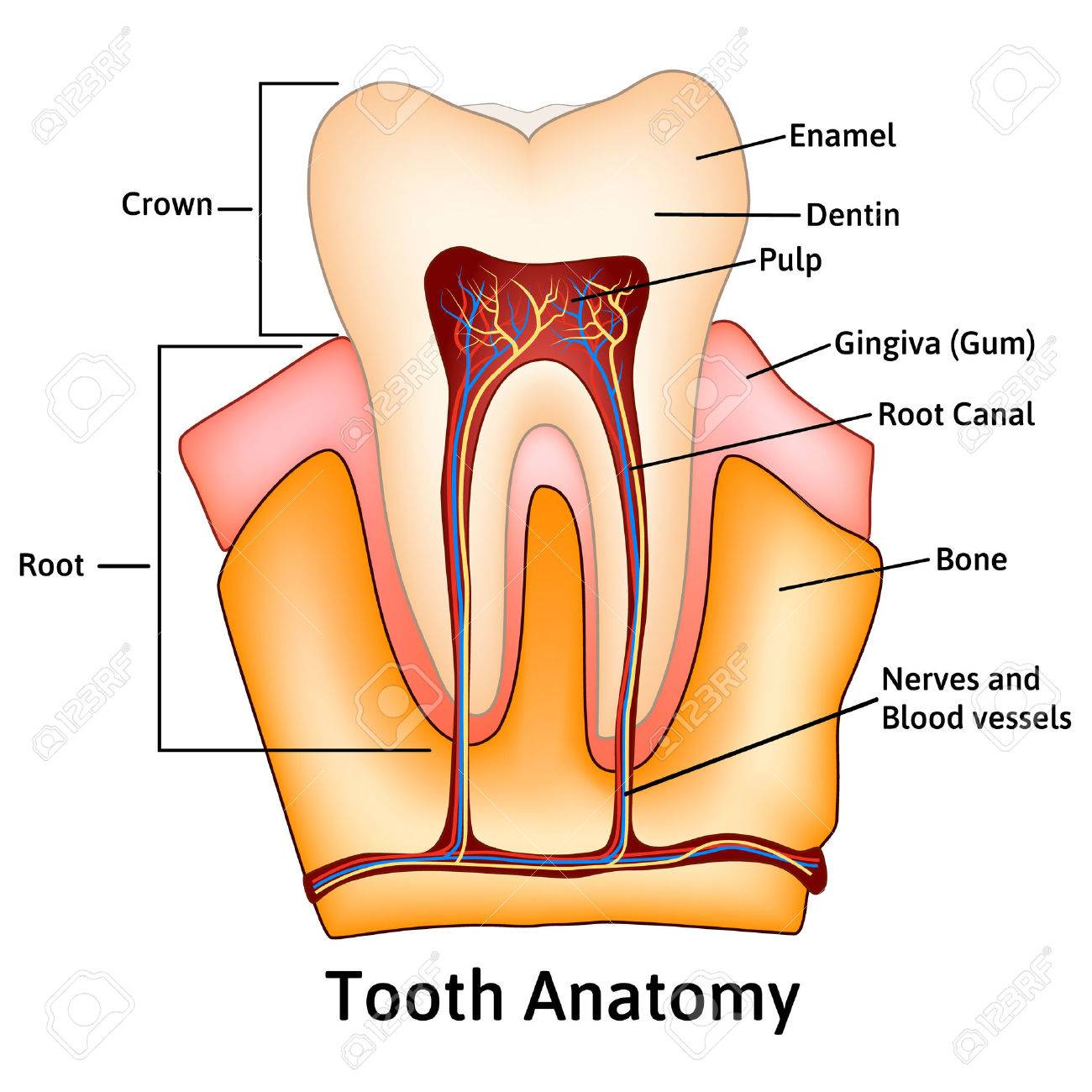 Human Tooth Structure Medical Science Educational Raster ...
