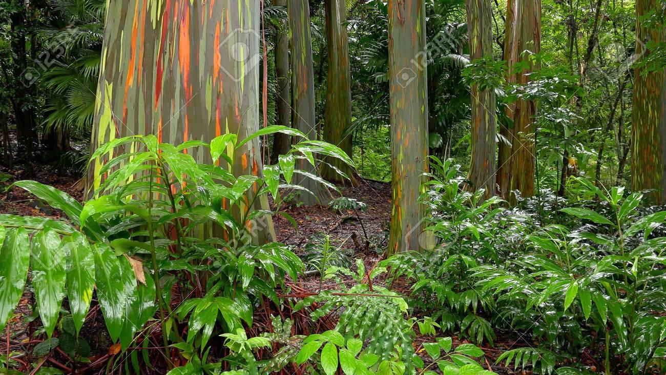 Colorful tree trunks of the Rainbow Eucalyptus (Eucalyptus deglupta) at the Keanae Arboretum along the road to Hana in Maui, Hawaii - 44247856