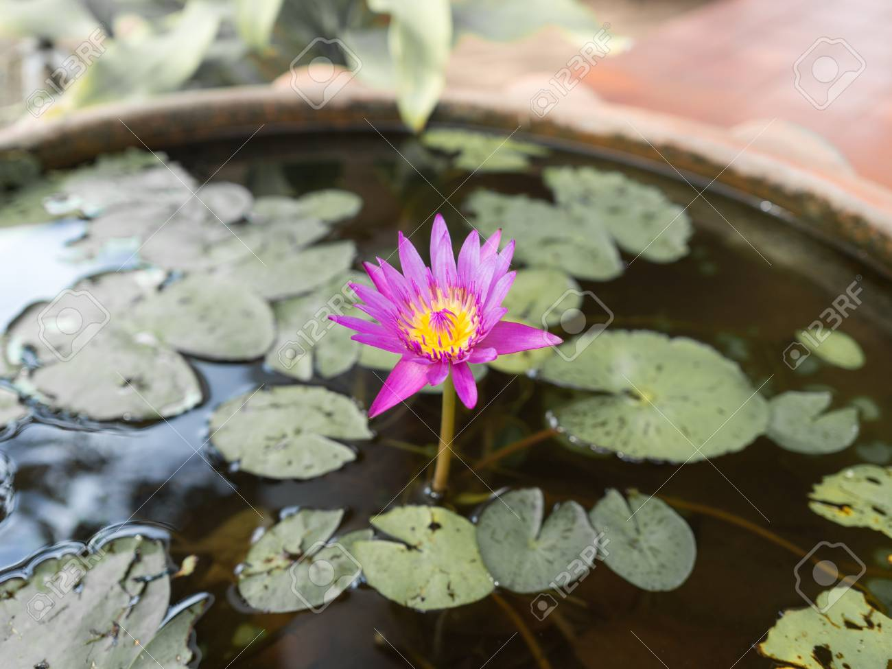 Pink Lotus Blossoms Or Water Lily Flowers Blooming On Pondpink