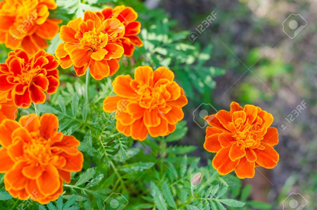 Fleur de soucis français dans le jardin, fleurs oranges