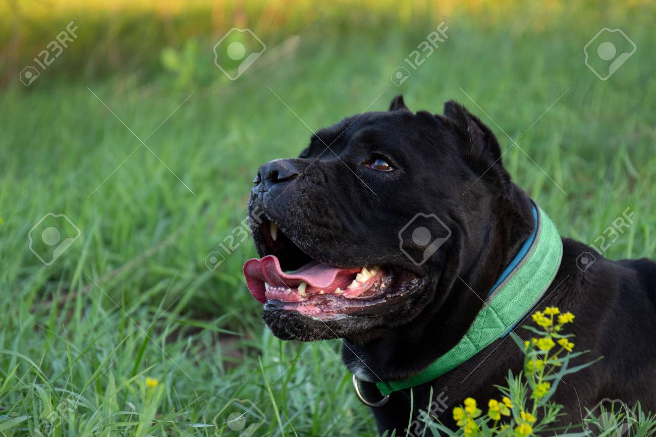 Male Black Purebreeded Cane Corso With Cropped Ears Lying In Stock