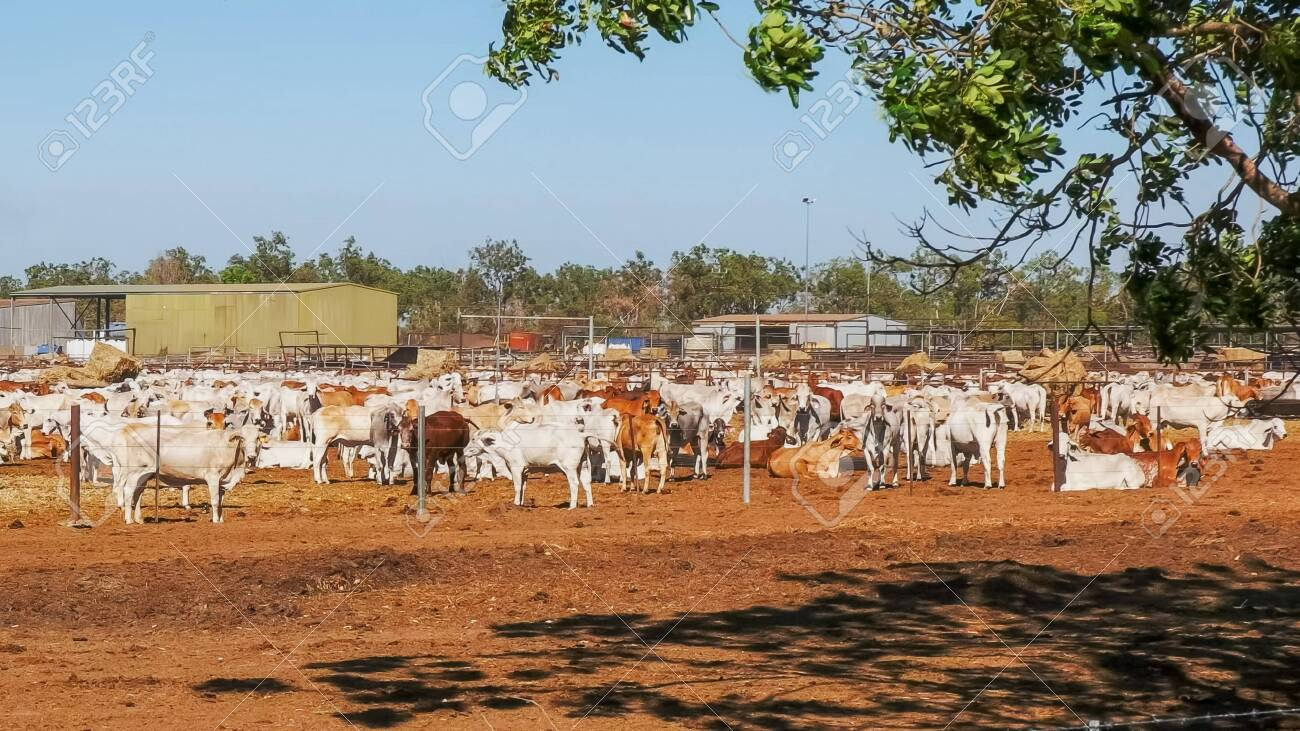 Large Herd Of Australian Brahman Beef Cattle Are Held At A Cattle