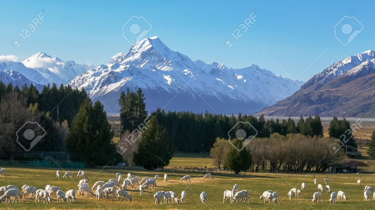 newly shorn sheep graze on glentanner station with new zealand's mt cook towering in the distance - 117198624