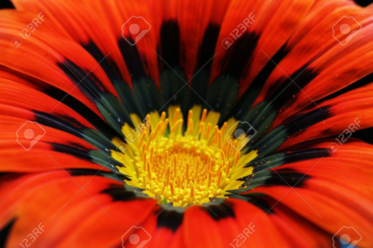 Red Flower Closeup With Yellow Centre Stock Photo Picture And