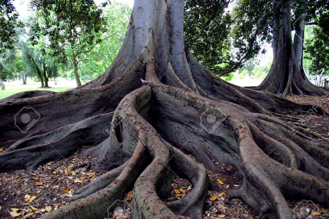 Curvey Tangled Fig Trees Roots Stock Photo, Picture And Royalty ...