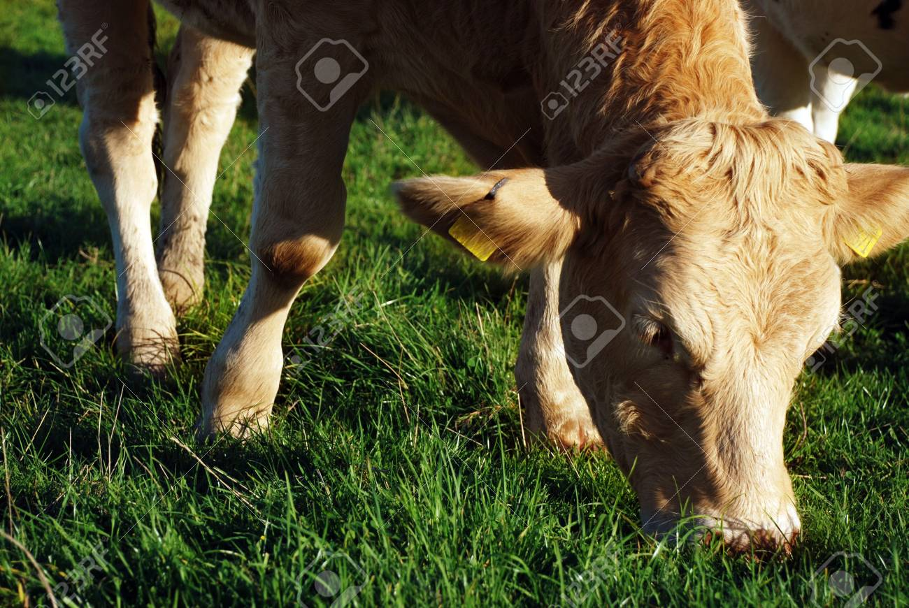 cow Stock Photo - 2460378