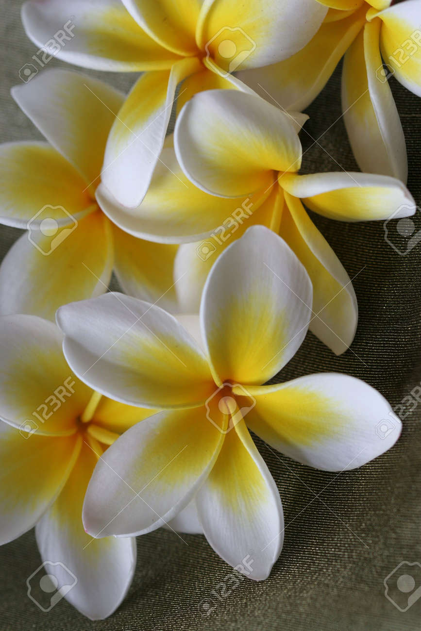 Close up of yellow and white tropical plumeria / frangiapani flowers Stock Photo - 672726