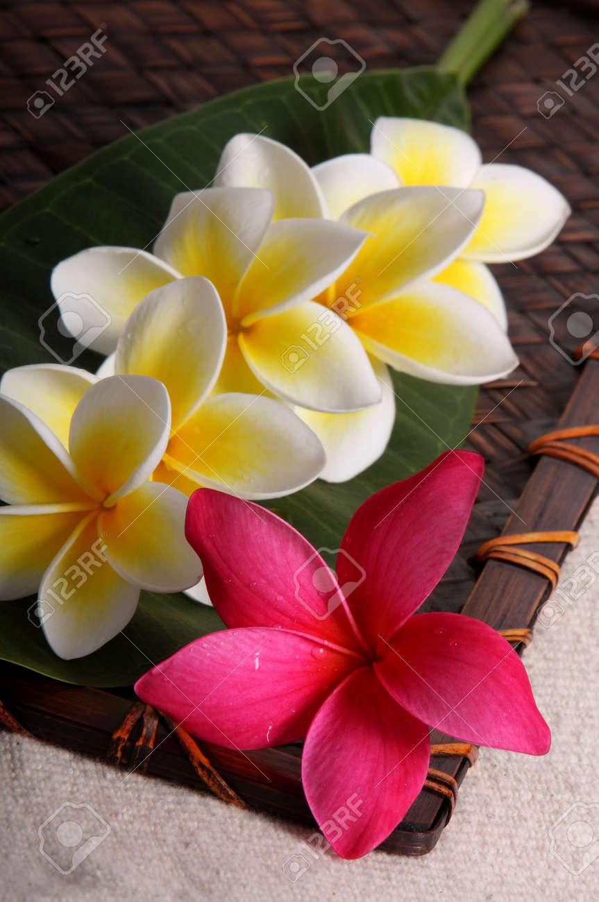 Tropical White Yellow And Pink Frangiapani Plumeria Flowers