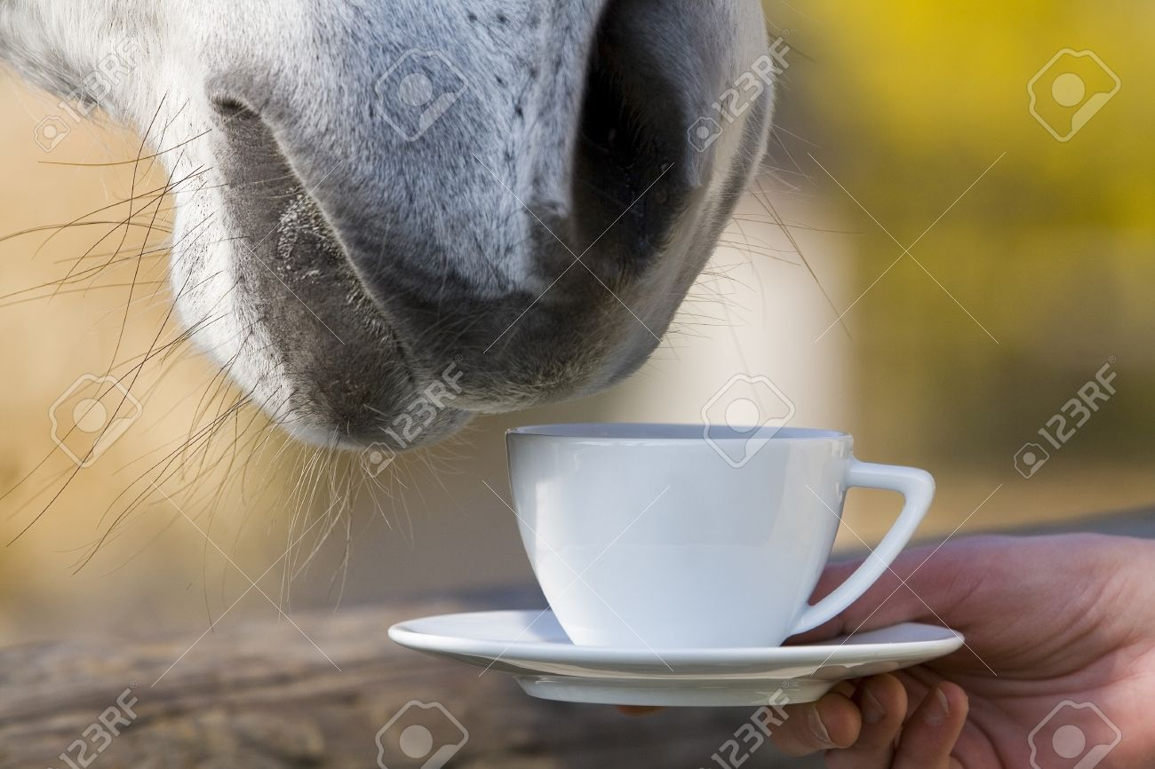 A Horse That Seem To Be Drinking Or Smelling A Cup Of Coffee.. Stock ...
