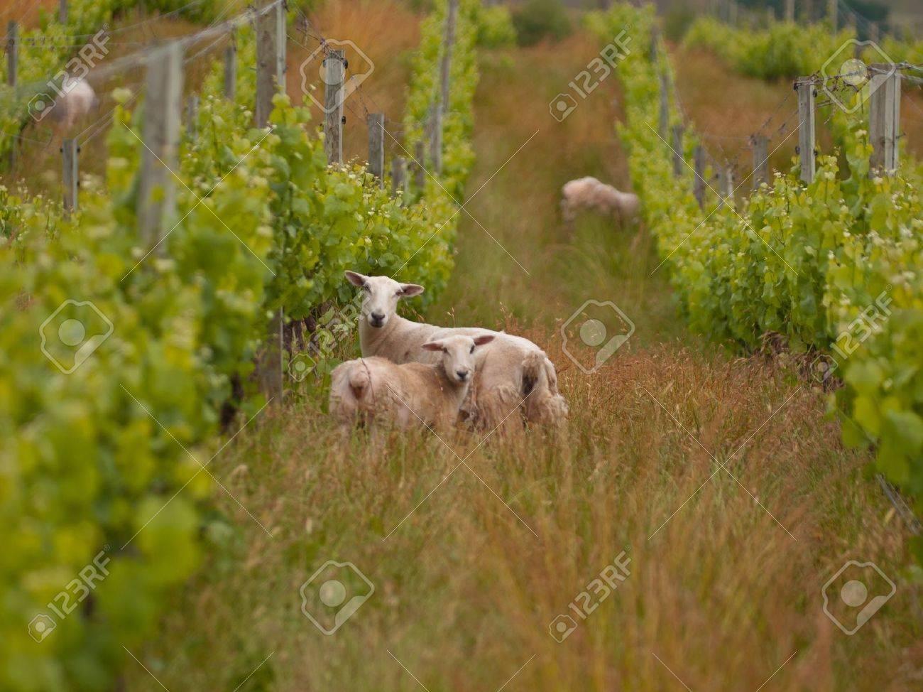 sheep are grazing in organic vineyard in marlborough wine region New Zealand Stock Photo - 10834482