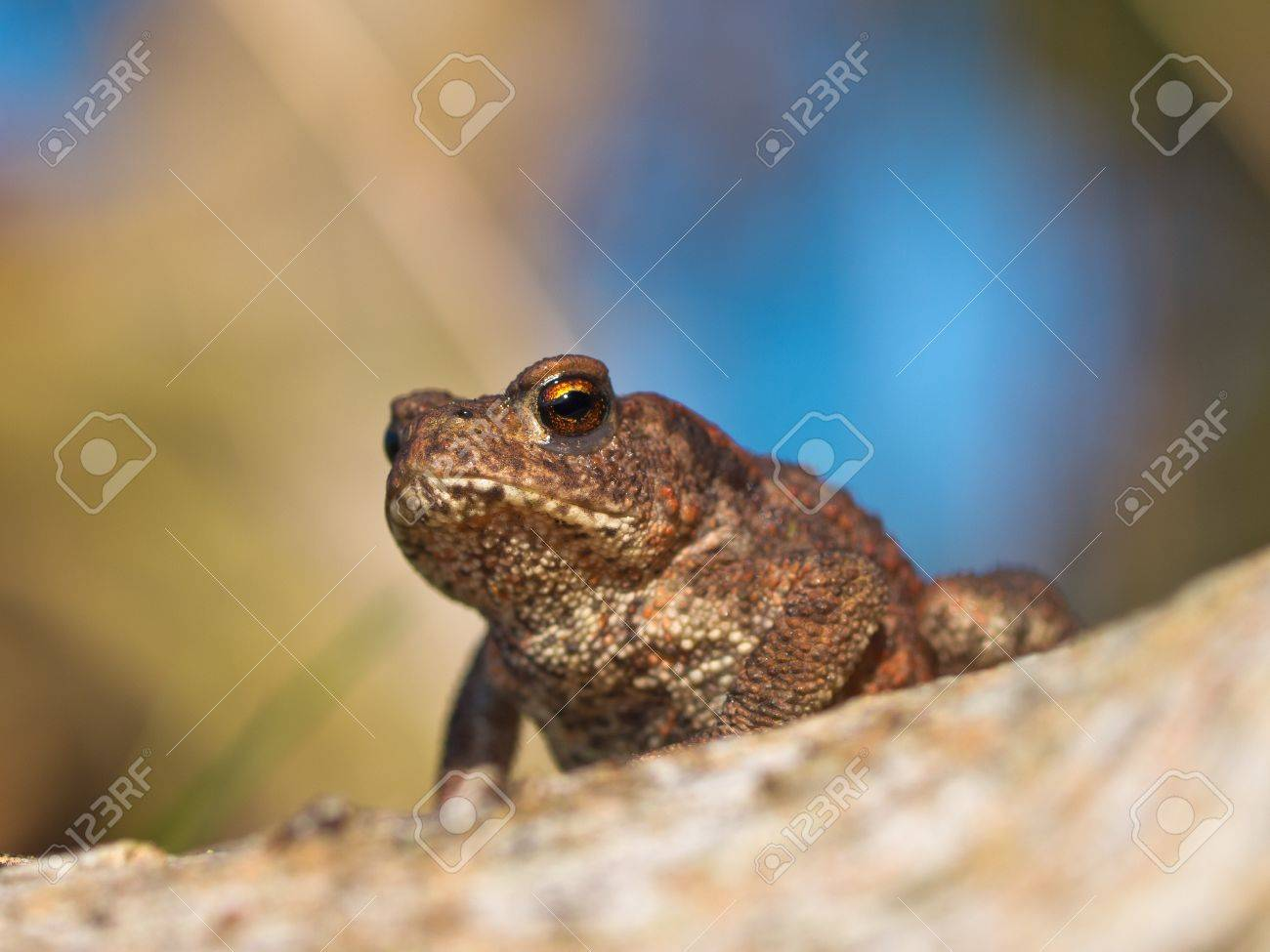 Common toad Bufo Bufo on log with beatiful background Stock Photo - 11334293