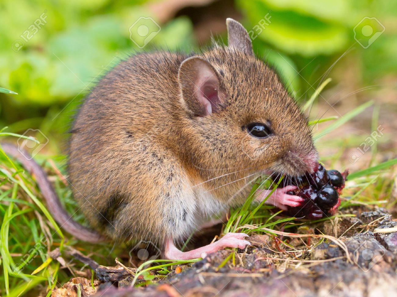 Wild mouse eating raspberry on log sideview Stock Photo - 11334343