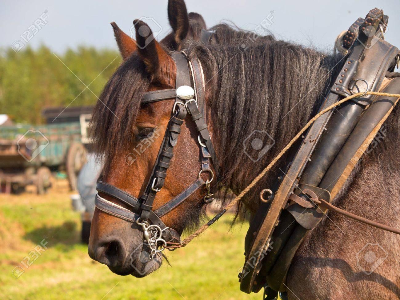 Couple of vintage pulling horses Stock Photo - 11334468