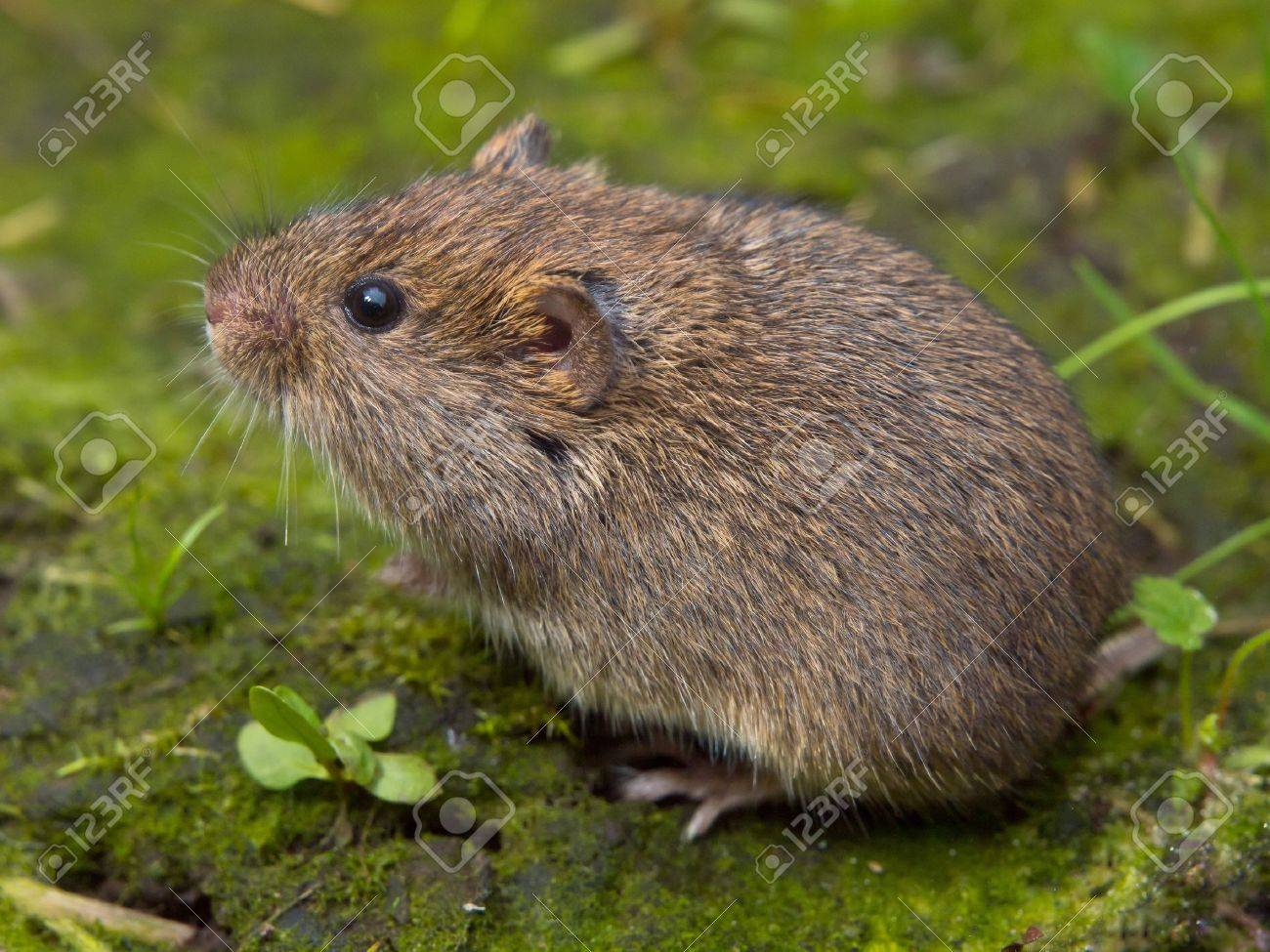 Vield Vole (Microtus Agrestis) Sitting Stock Photo, Picture And ...