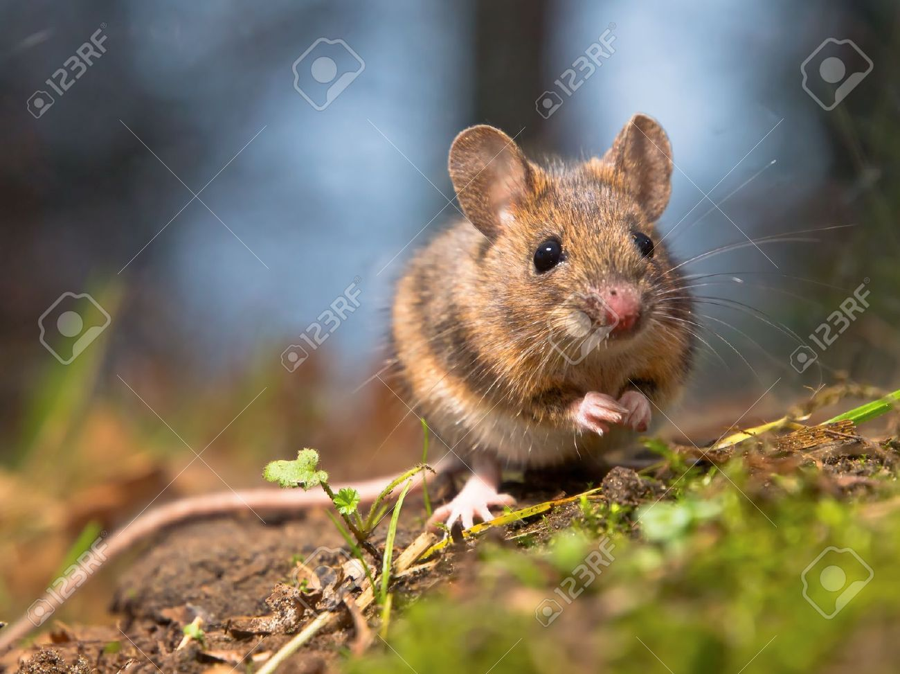 Wild wood mouse sitting on the forest floor Stock Photo - 12285617