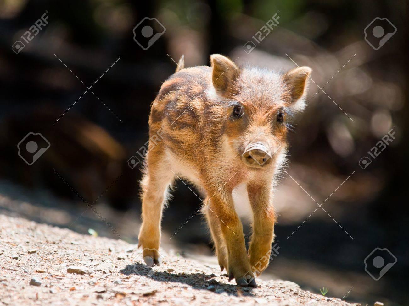 Young Wild Boar  Sus scrofa  is walking in the sun Stock Photo - 21950602