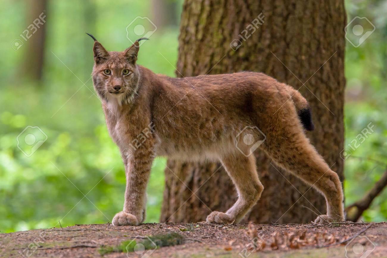 ヨーロッパオオヤマネコ lynx lynx はヨーロッパおよびシベリアの森林