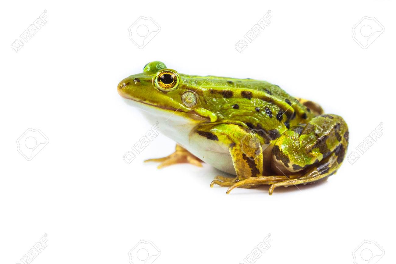 Beautiful and strong Pool frog male (Pelophylax lessonae) isolated on white background - 44290978