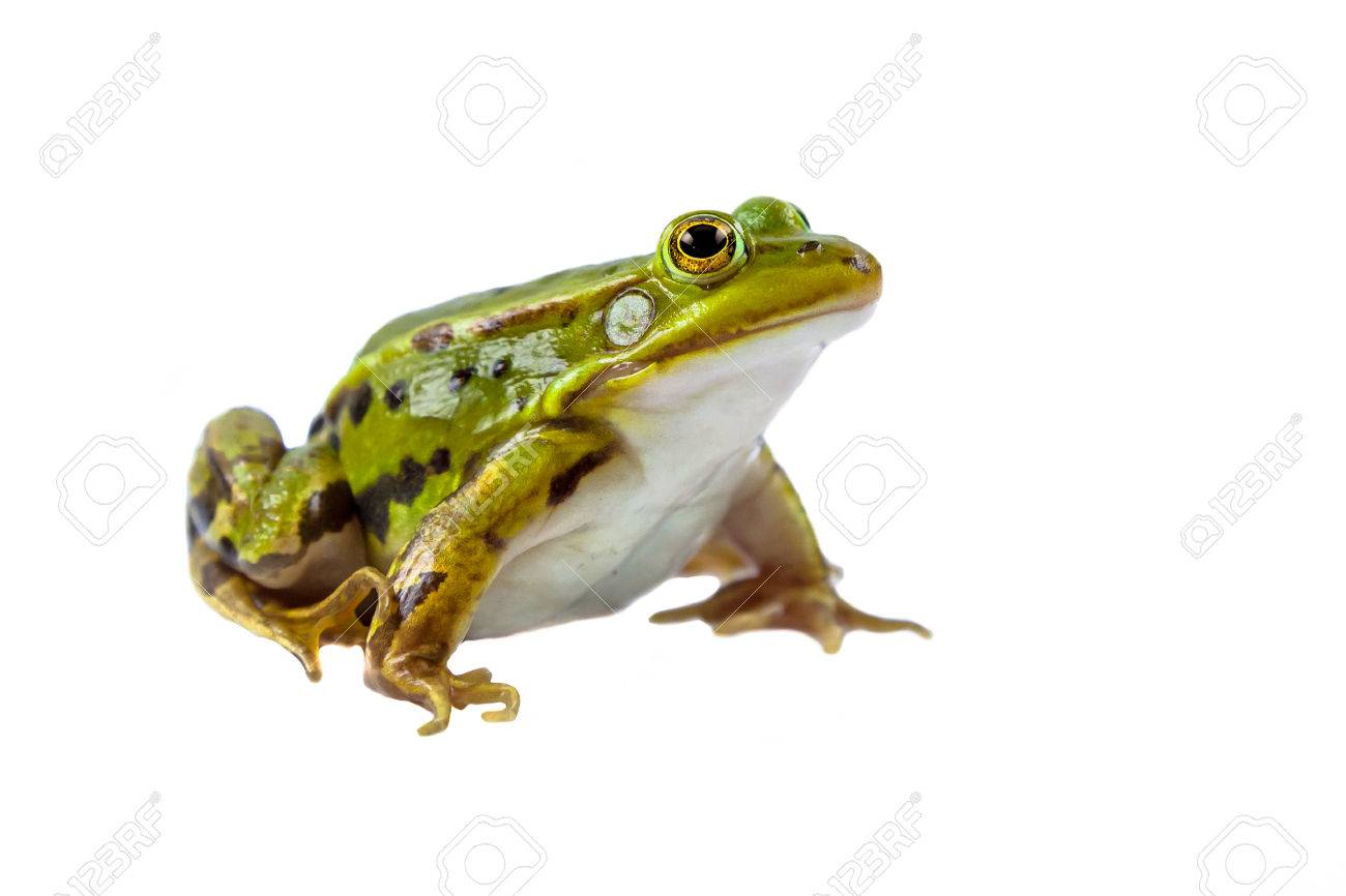 Beautiful and strong Pool frog male (Pelophylax lessonae) isolated on white background - 46813414