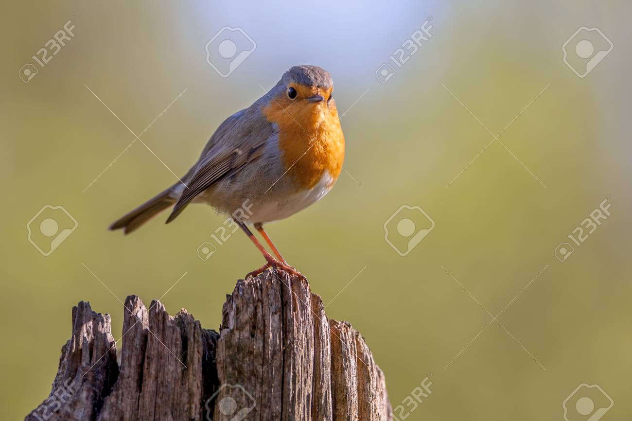 A red robin (Erithacus rubecula) on a wooden pole in a forest. This bird is a regular companion during gardening pursuits - 46813951