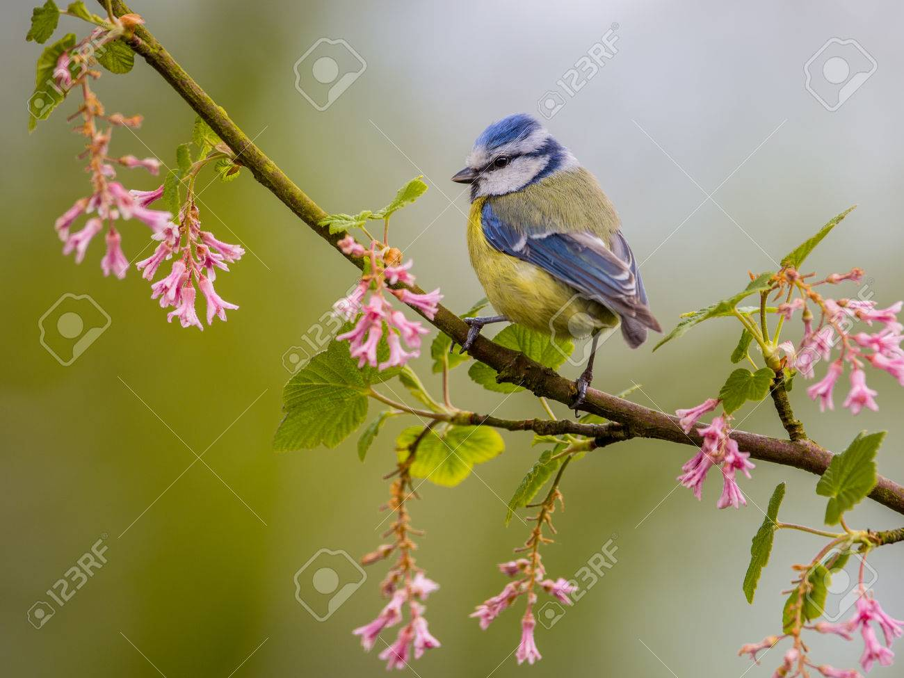 Blue tit (Cyanistes caeruleus) on a branch with pink flowers on a beautiful day in may. It is a widespread and a common resident breeder throughout temperate and subarctic Europe and western Asia - 54992468