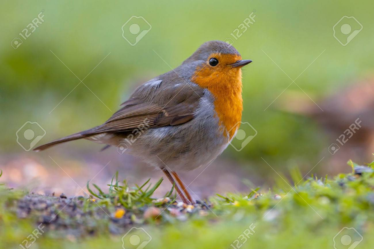 A red robin (Erithacus rubecula) foraging on the ground. This bird is a regular companion during gardening pursuits - 60821555
