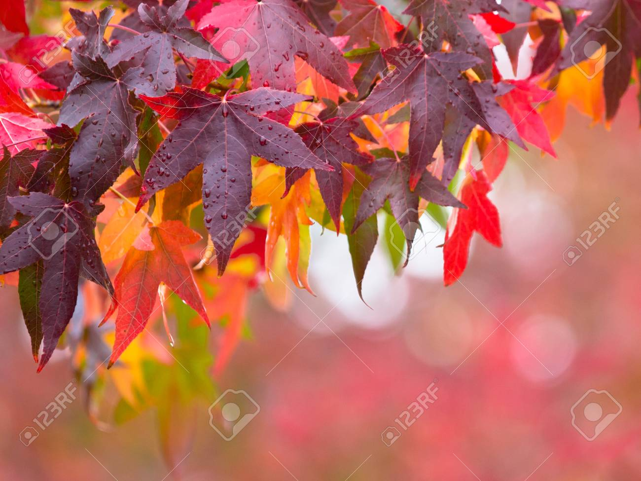 Vibrant Colored Autumn Leaves In Red And Purple On Branches Of Stock Photo Picture And Royalty Free Image Image 65557710