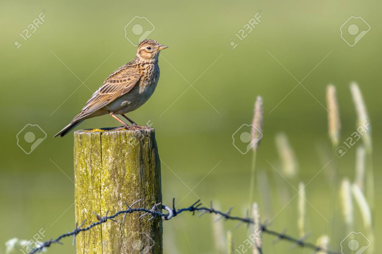 Eurasian skylark (Alauda arvensis) perched on a pole in agricultural landscape. This small passerine bird species is a wide-spread species found across Europe and Asia - 73419717