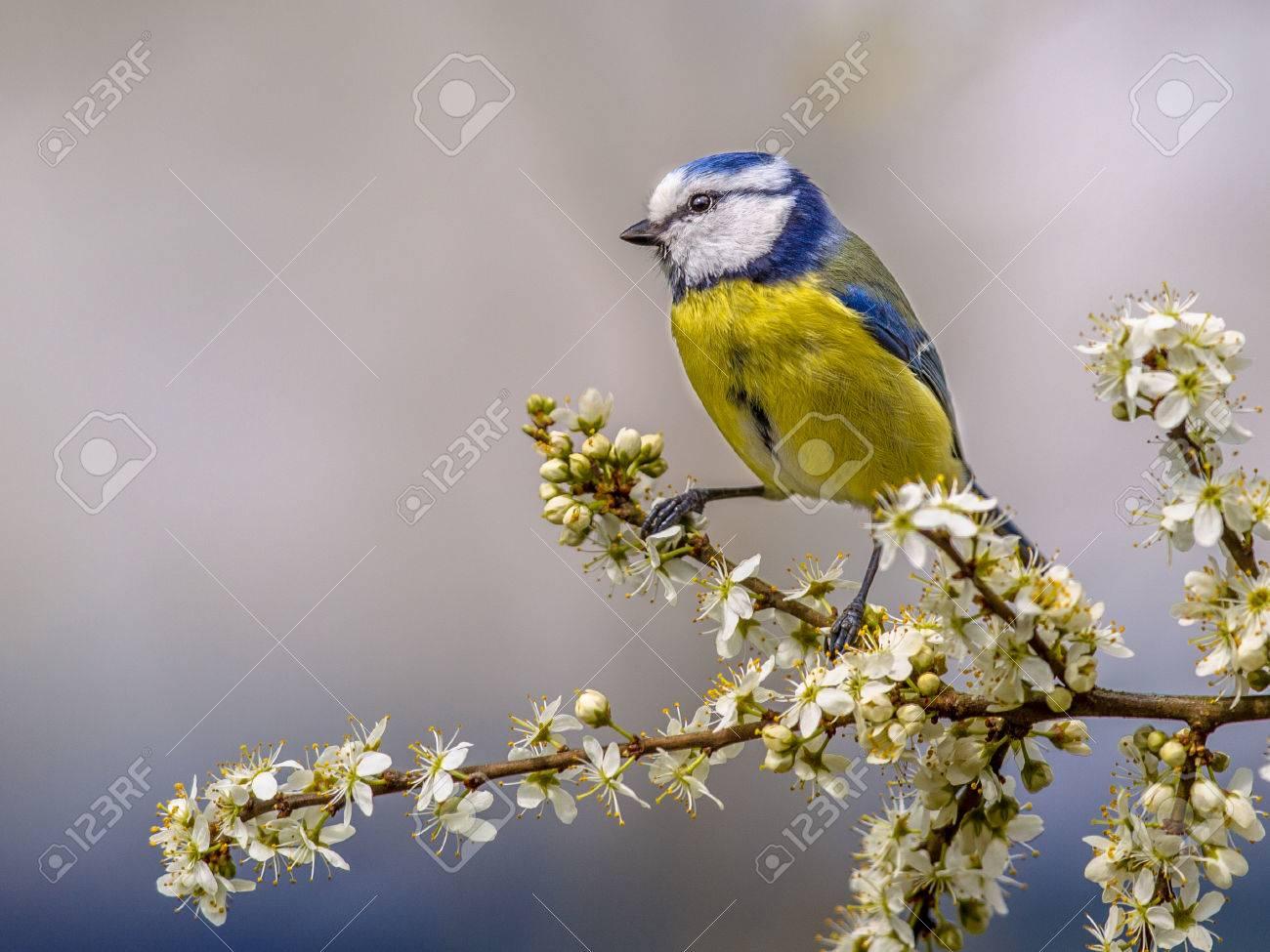 Blue tit (Parus caeruleus) perched on branch of Hawthorn (Crataegus monogyna) with white blossom - 73420658