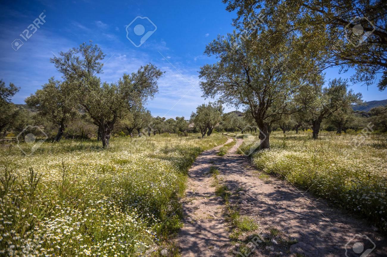 Fleur De Sous Bois Bleue ancienne oliveraie bio avec sous-bois de fleurs blanches et piste de pierre  sur une belle journée avec un ciel bleu au printemps