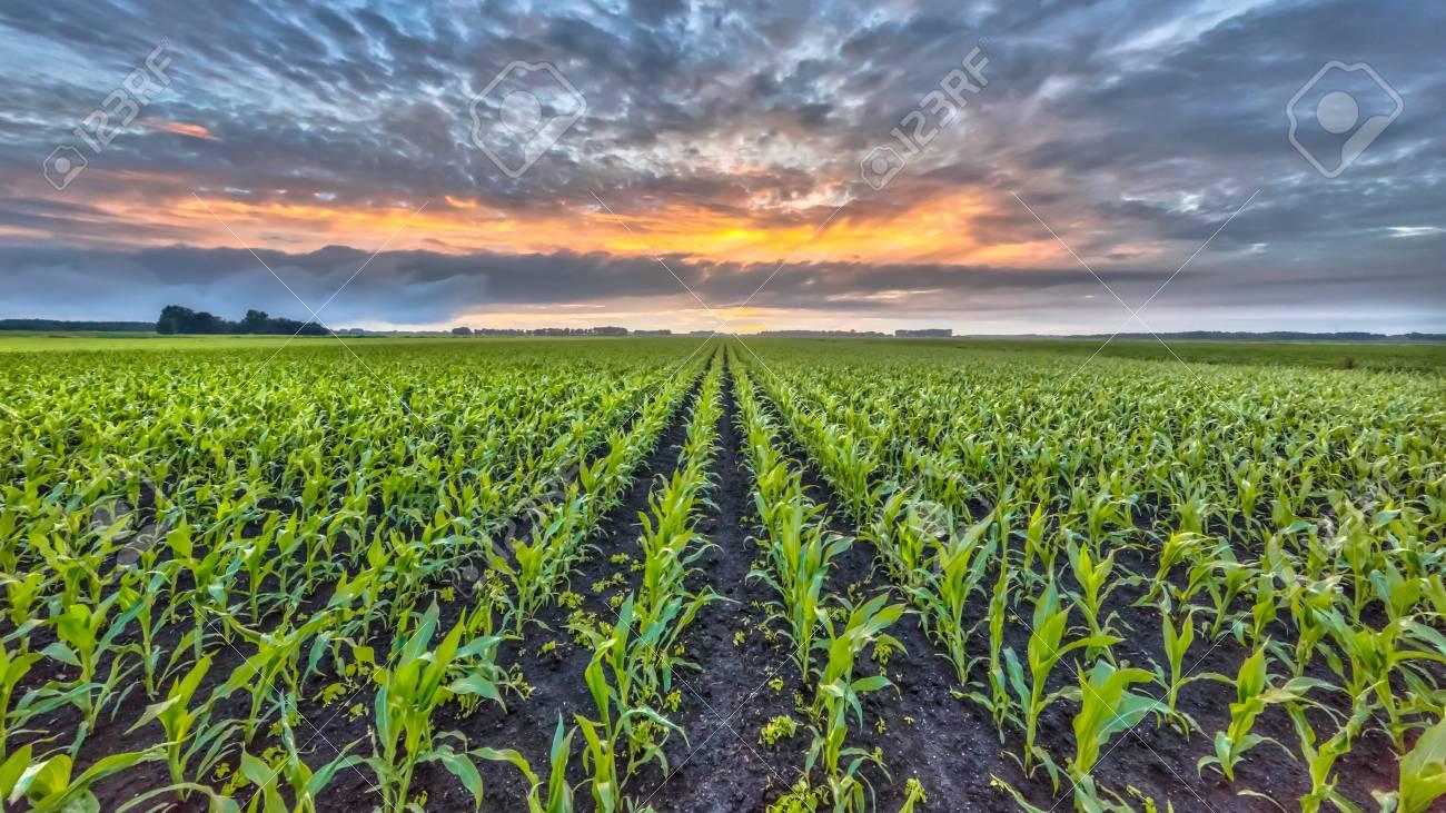 Corn field under setting sun with beautiful clouded sky - 84569488