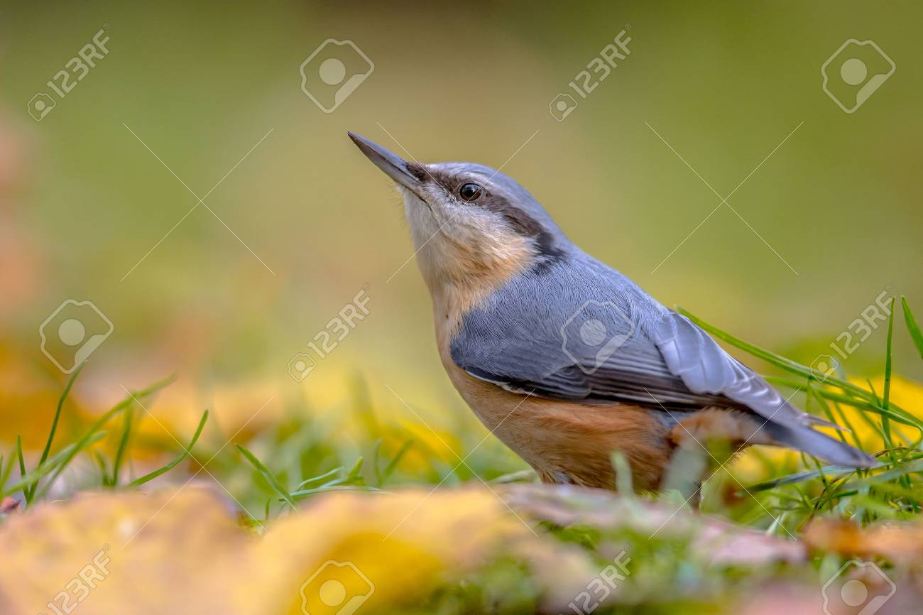 Eurasian Nuthatch (Sitta europaea) in backyard lawn with leaves in autumn colors - 89419553
