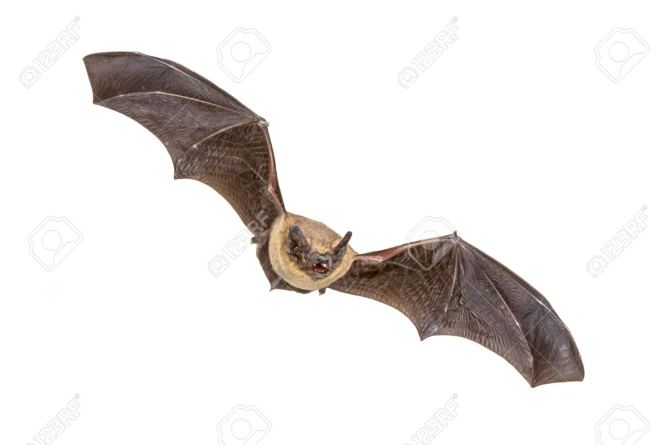 Flying Pipistrelle bat (Pipistrellus pipistrellus) action shot of hunting animal isolated on white background. This species is know for roosting and living in urban areas in Europe and Asia. - 115935774