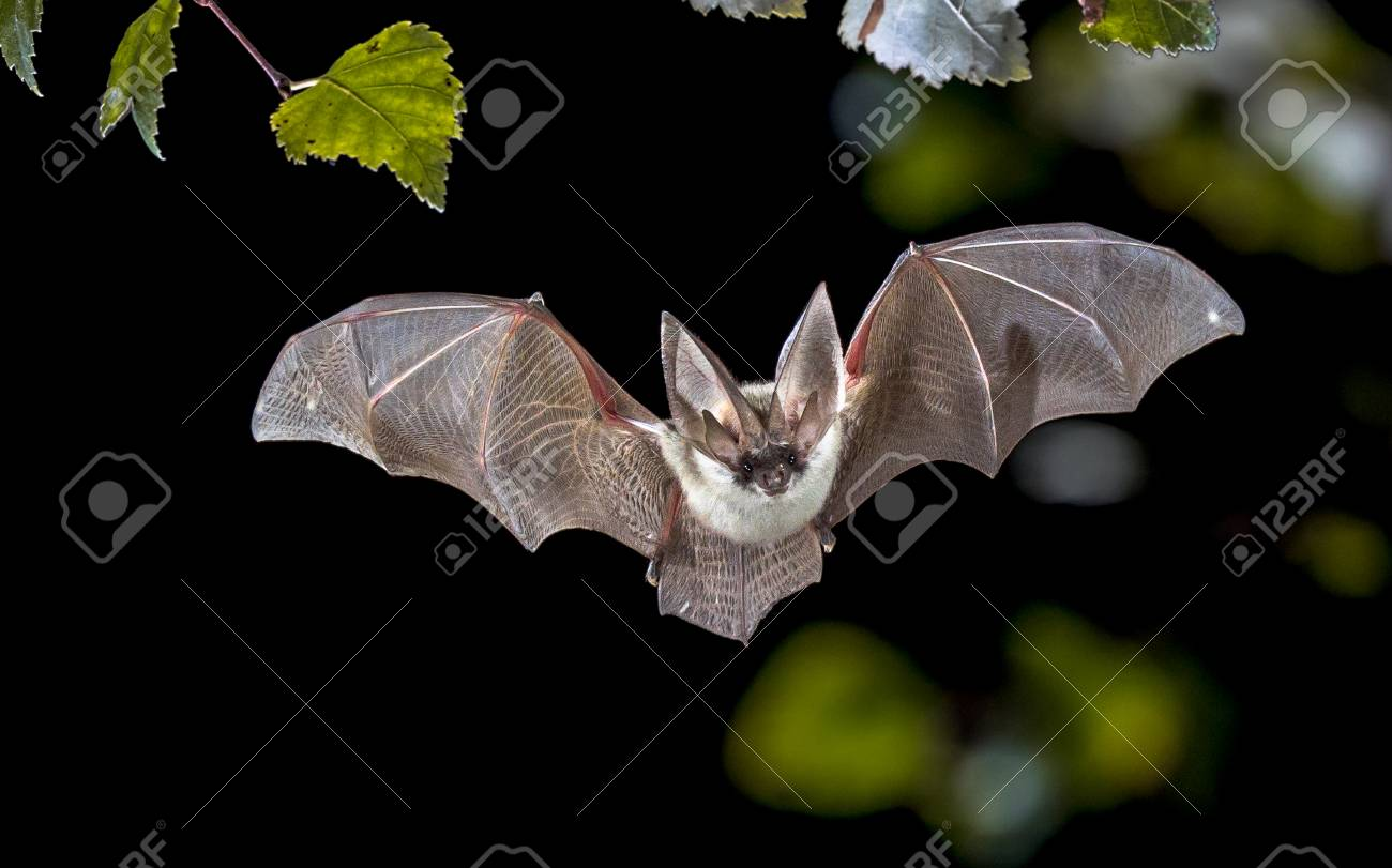 Flying bat hunting in forest. The grey long-eared bat (Plecotus austriacus) is a fairly large European bat. It has distinctive ears, long and with a distinctive fold. It hunts above woodland, often by day, and mostly for moths. - 115935871