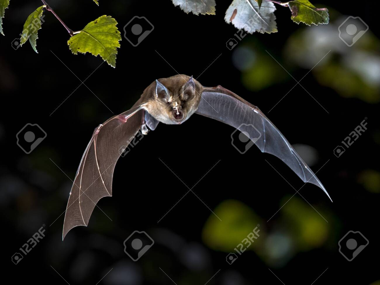 Flying bat hunting in forest. The Greater horseshoe bat (Rhinolophus ferrumequinum) occurs in Europe, Northern Africa, Central Asia and Eastern Asia. It is the largest of the horseshoe bats in Europe and is thus easily distinguished from other species. - 129648713