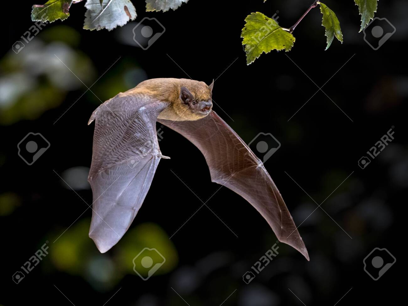 Flying Pipistrelle bat (Pipistrellus pipistrellus) action shot of hunting animal in natural forest background. This species is know for roosting and living in urban areas in Europe and Asia. - 130816933