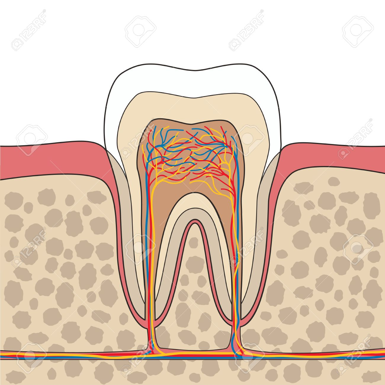 Cross Section Of Tooth, Gum, Bone Anatomy. Tooth Anatomy. Tooth ...